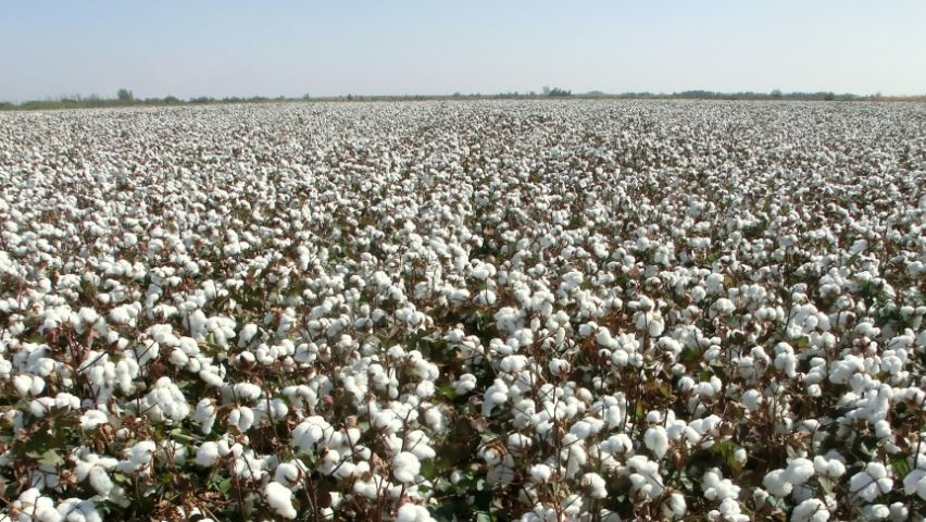 Organic cotton fields